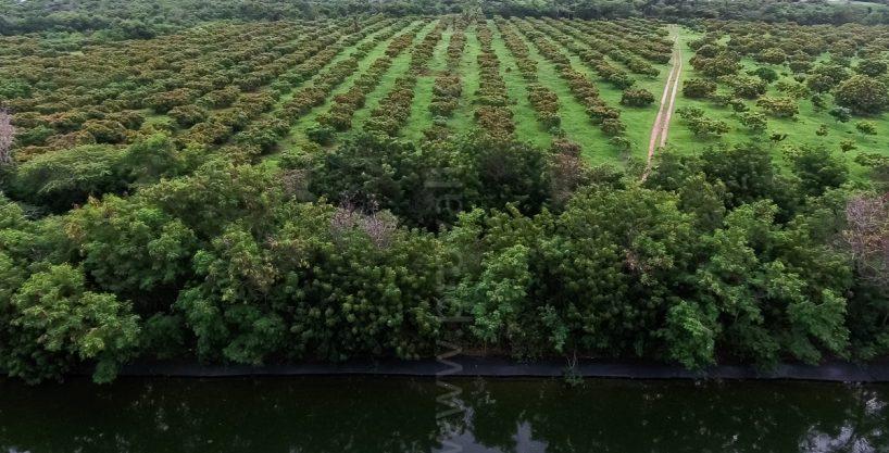627 Acres Organic Mangoes Plantation at Matanzas, Bani, Dominican Republic