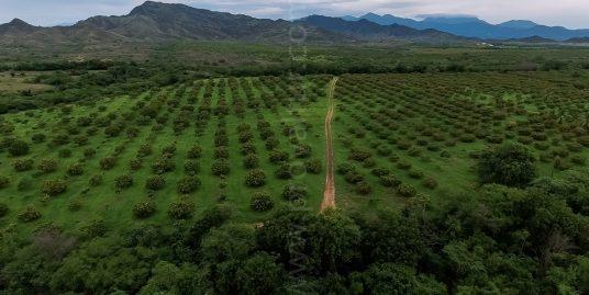 SOLD !  627 Acres Organic Mangoes Plantation at Matanzas, Bani, Dominican Republic