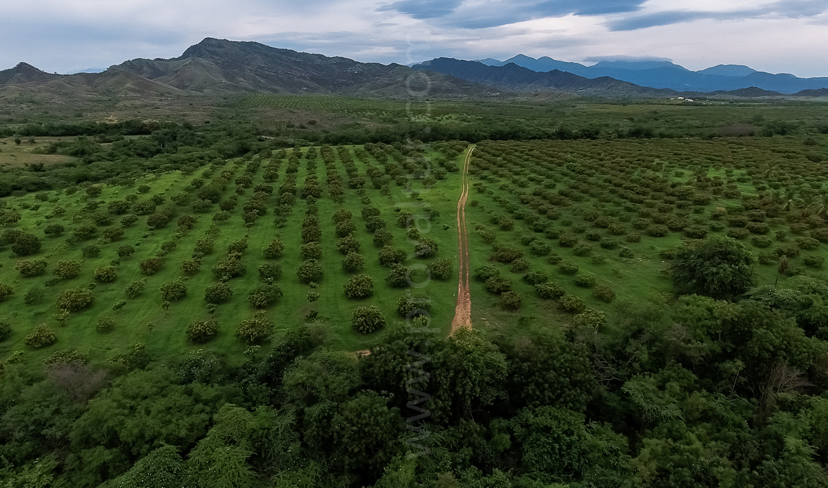SOLD !  627 Acres Organic Mangoes Plantation at Matanzas, Bani, Dominican Republic