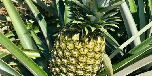 Organic pineapple plantation with export revenues and positive cash-flow