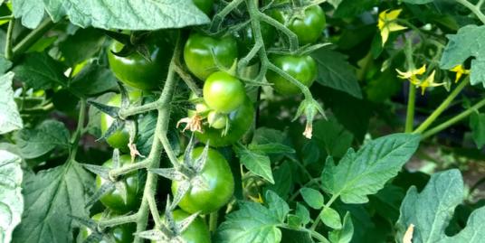 Greenhouse - Rancho Arriba00011
