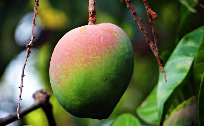 Earn Up To 45% Returns With Mangoes Plantation in Dominican Republic